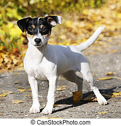Jack Russell terrier outdoors - Young Jack Russell terrier...