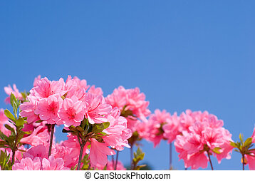 Pink azalea - Bright pink azalea flower and blue sky