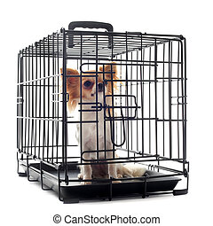 chihuahua in kennel