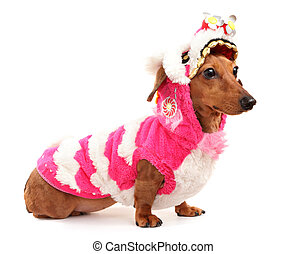 dachshund dog in chinese new year cloth