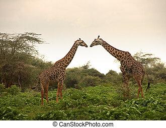 Two giraffes in love