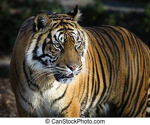 Sumatran tiger panthera tigris sumatrae - Closeup of...