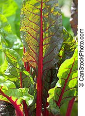 Swiss Chard - Close detail of the Swiss Chard beet leaf in a...