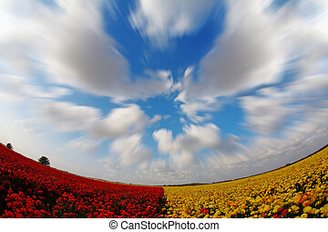 The clouds flying above the blossoming field of yellow and red buttercups, photographed by a lens the Fish eye
