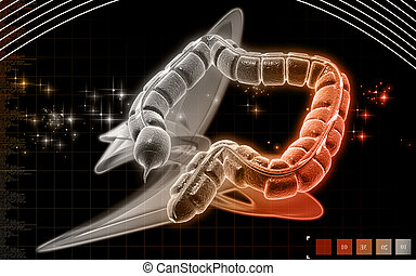 Large intestine - Digital illustration of large intestine in...