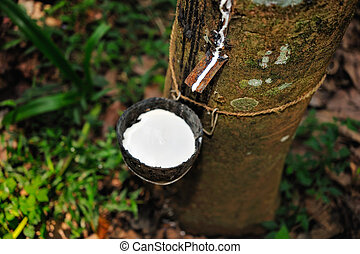 India Rubber - An incision is made in the bark of a rubber...