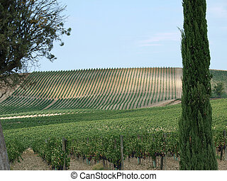 Vineyard - one of the biggest riches Tuscany