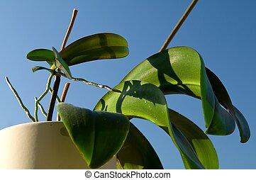 Keiki of Phalaenopsis - Regular Keikis on Phalaenopsis...