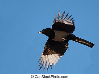 European magpie in flight (Pica pica)