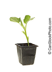 Bean seedling - Broad bean plant seedling in a plastic pot...