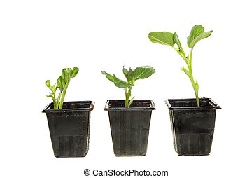 Three broad bean plants - Three young broad bean plants in...