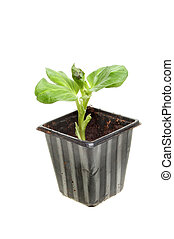 Small broad bean plant - Small seedling broad bean plant in...