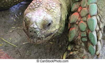 Giant galapagos tortise, close-up