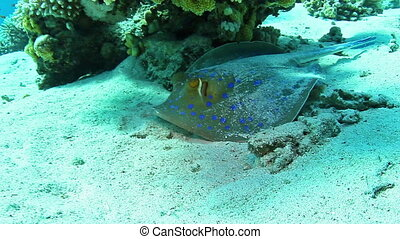 Blue spotted stingray - Bluespotted ribbontail ray (Taeniura...