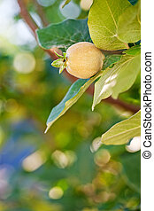 Young fruit on quince tree in spring garden against natural...