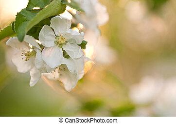 美しい, 花, アップル