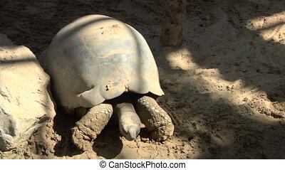 tortoise 01 - A Galapagos giant tortoise