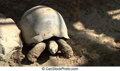 tortoise 02 - A Galapagos giant tortoise