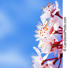 Cherry tree blossom flowers border over blue natural sky...