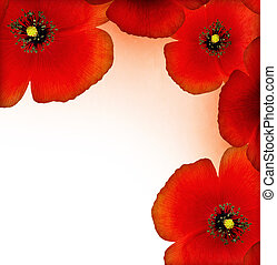 Red poppy border - Fresh red poppy border isolated on white...