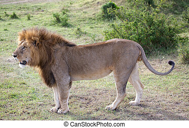 African lion Panthera leo Animal in the wild