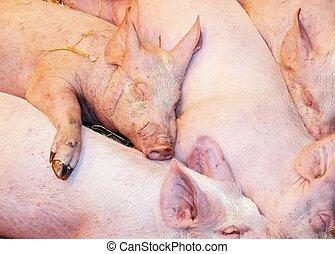 pigs babies