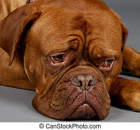 Dog Waits - Sad Looking Brown Dog lays his head down on the...