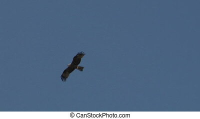 hawk fly 02 - Flying hawk silhouette
