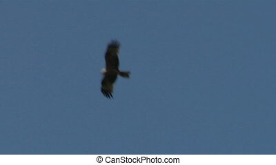 hawk fly 03 - Flying hawk silhouette