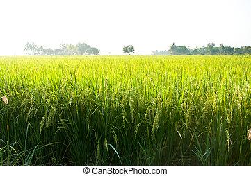 rice field - A field of Thai jasmine rice