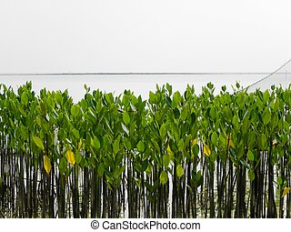 Young Mangrove Trees - A bunch of young mangrove trees...