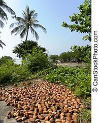 Coconut Shells and Coconut Trees - Husk of coconut under the...