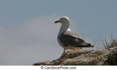 seagull 07 - Seagull on coast