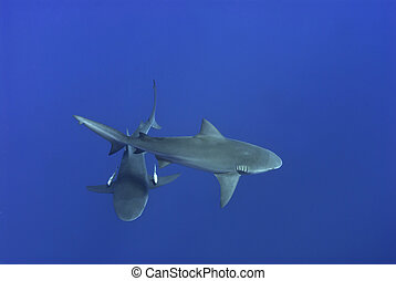 Two-piece - The topview of two bull sharks, Pinnacles,...