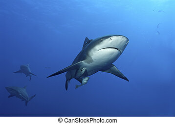 Confused shark - A close up on a bull shark and two others...