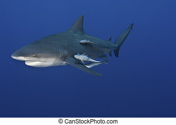 Laughing shark - A close up on a bull shark with fish...