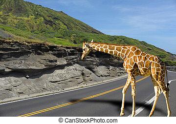 Giraffa - Giraffe taking a stroll.