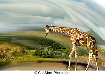 Giraffe taking a stroll.