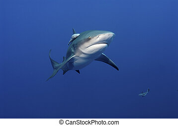 Glaring bull shark - The front view of a bull shark,...