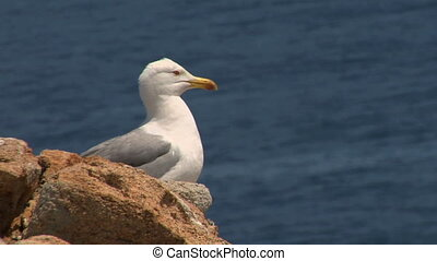 seagull 09 - Seagull on coast