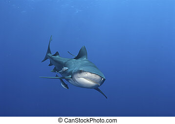 Shark grin - The view of a bull shark from the front,