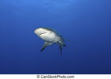 Bull shark approach - The view of a bull shark closing in,...
