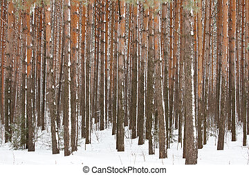Pine winter forest - high trunks of trees