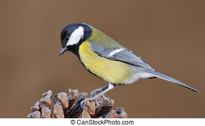 Great tit. - Parus major.
