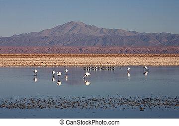 Laguna de Chaxa, Atacama - Chile