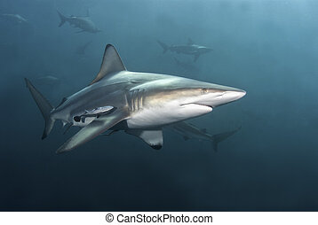 Passing by - A close up on a blacktip shark passing by,...