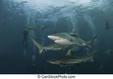 Shark sequence - The view of blacktip sharks swimming...