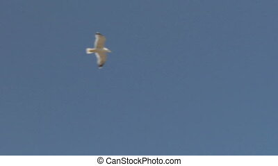 seagull fly 01 - Flying seagull