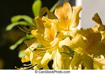 Images photos de amarillis 81 photos et images libres de for Amaryllis jaune
