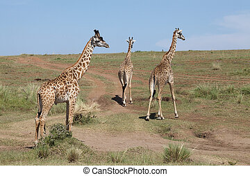 Giraffe Giraffa camelopardalis Animal in the wild